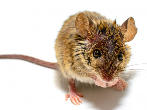 Click Here for Rodent Prevention TIps