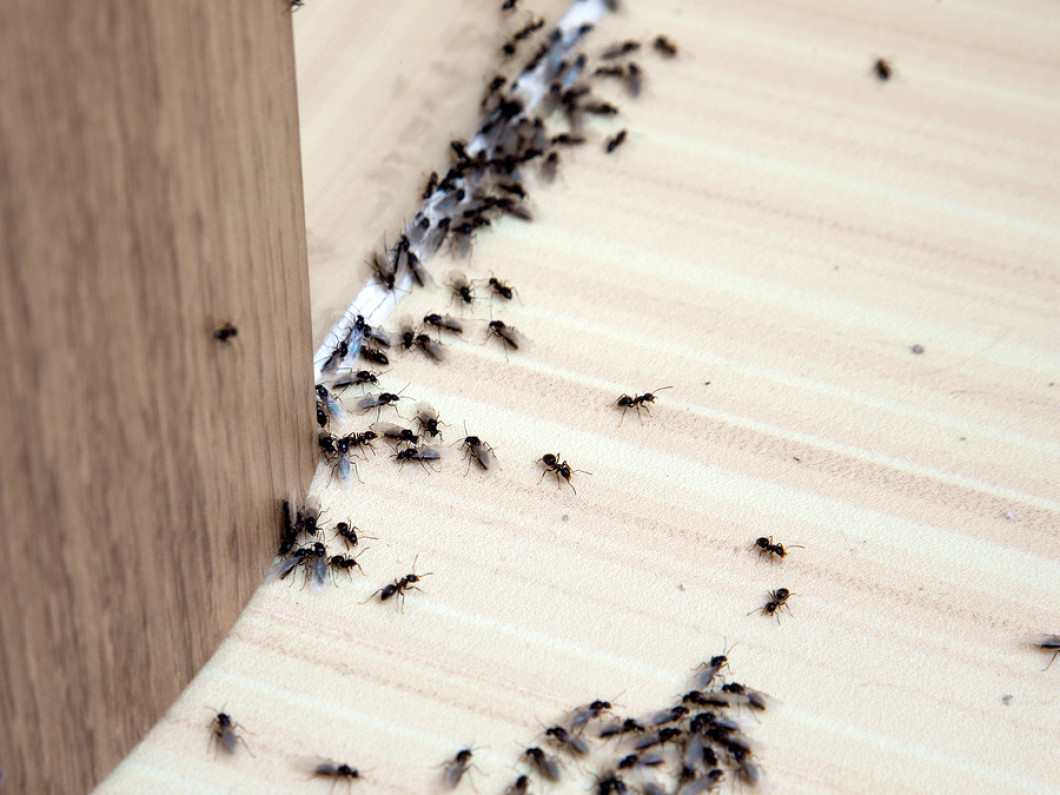 Reliable Ant Removal Service