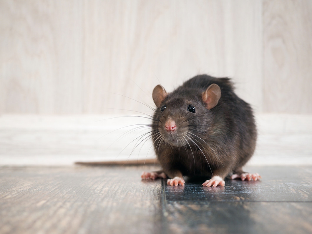 Kick Your Pesky Rodents to the Curb for Good